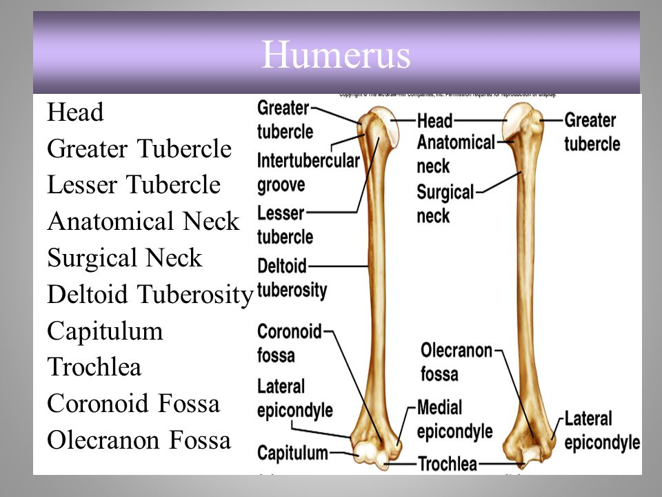 Humerus Head Greater Tubercle Lesser Tubercle Anatomical Neck Surgical Neck Deltoid Tuberosity Capitulum Trochlea Coronoid Fossa Olecranon Fossa
