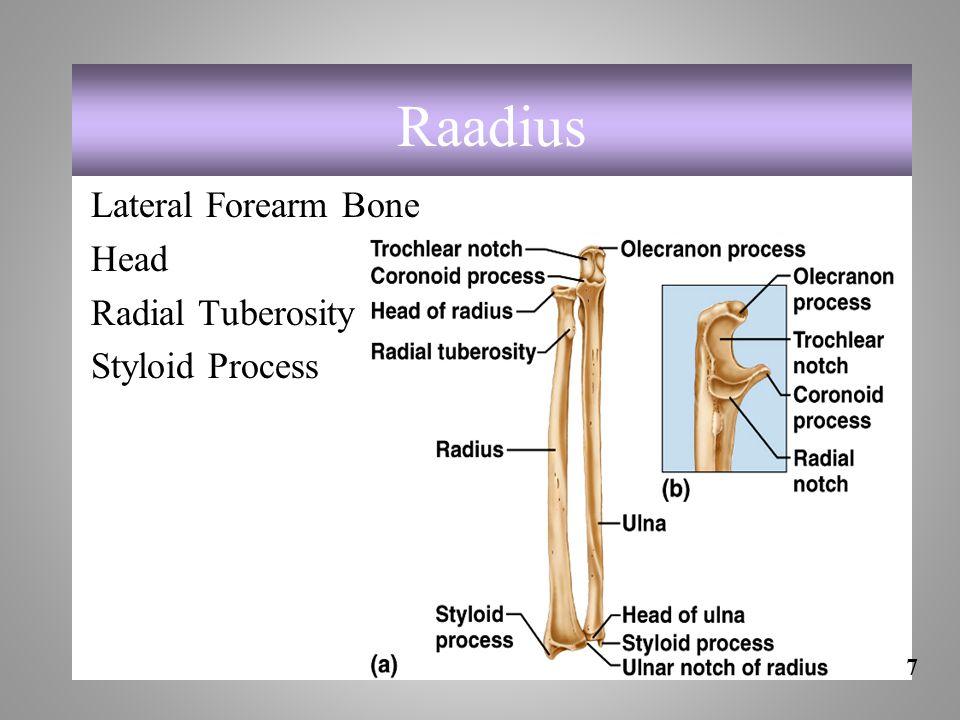 Raadius Lateral Forearm Bone Head Radial Tuberosity Styloid Process