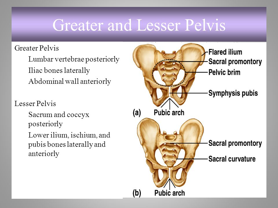Greater and Lesser Pelvis