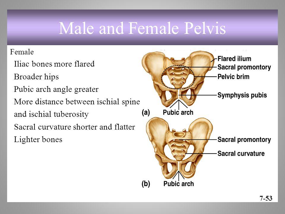 Male and Female Pelvis Iliac bones more flared Broader hips