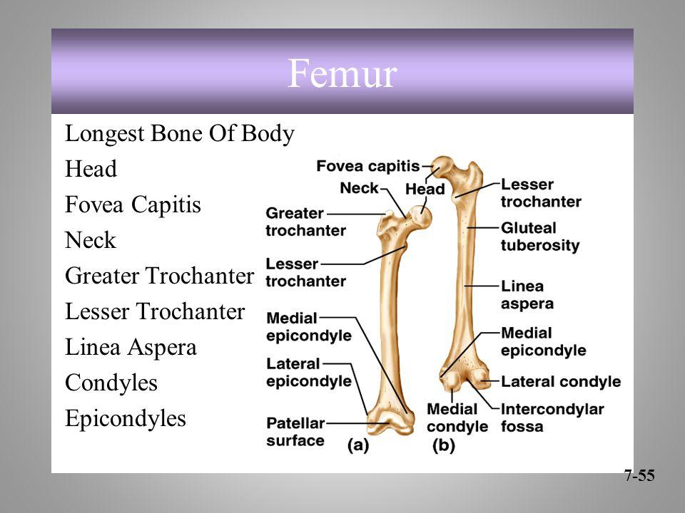 Femur Longest Bone Of Body Head Fovea Capitis Neck Greater Trochanter Lesser Trochanter Linea Aspera Condyles Epicondyles