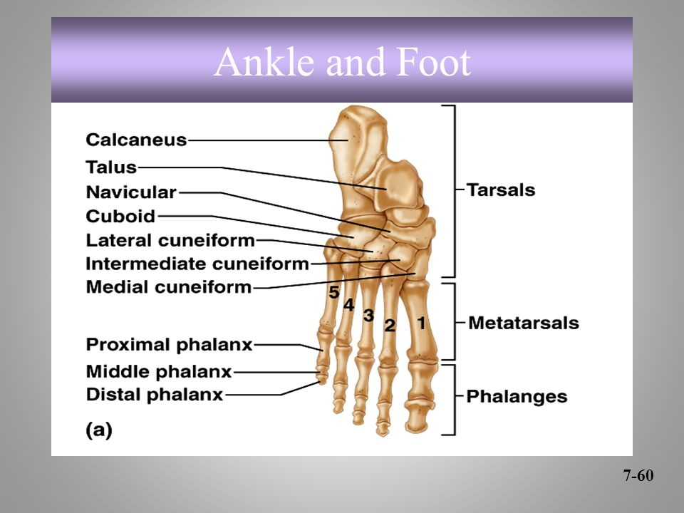 Ankle and Foot 7-60