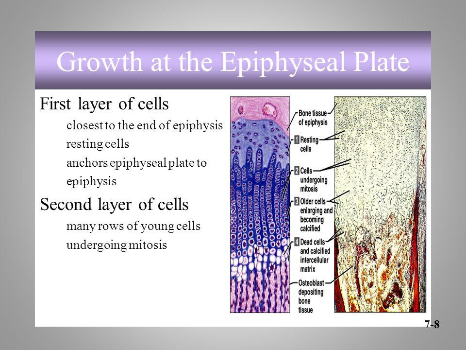Growth at the Epiphyseal Plate