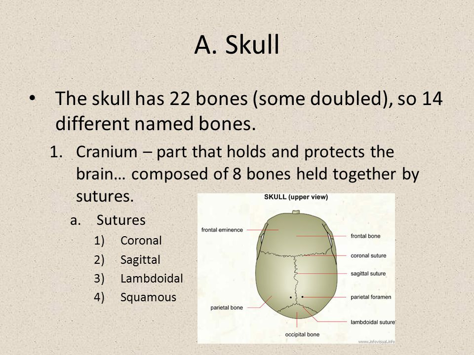 A. Skull The skull has 22 bones (some doubled), so 14 different named bones.