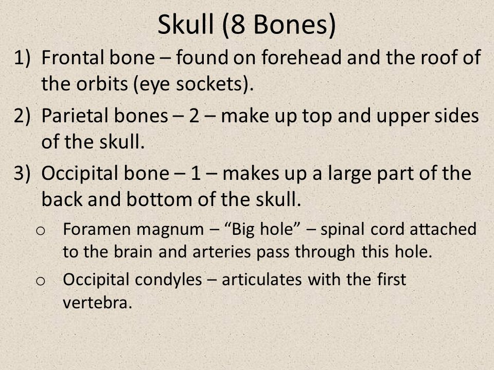 Skull (8 Bones) Frontal bone – found on forehead and the roof of the orbits (eye sockets).