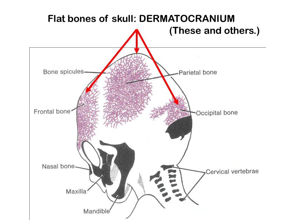 Flat bones of skull: DERMATOCRANIUM