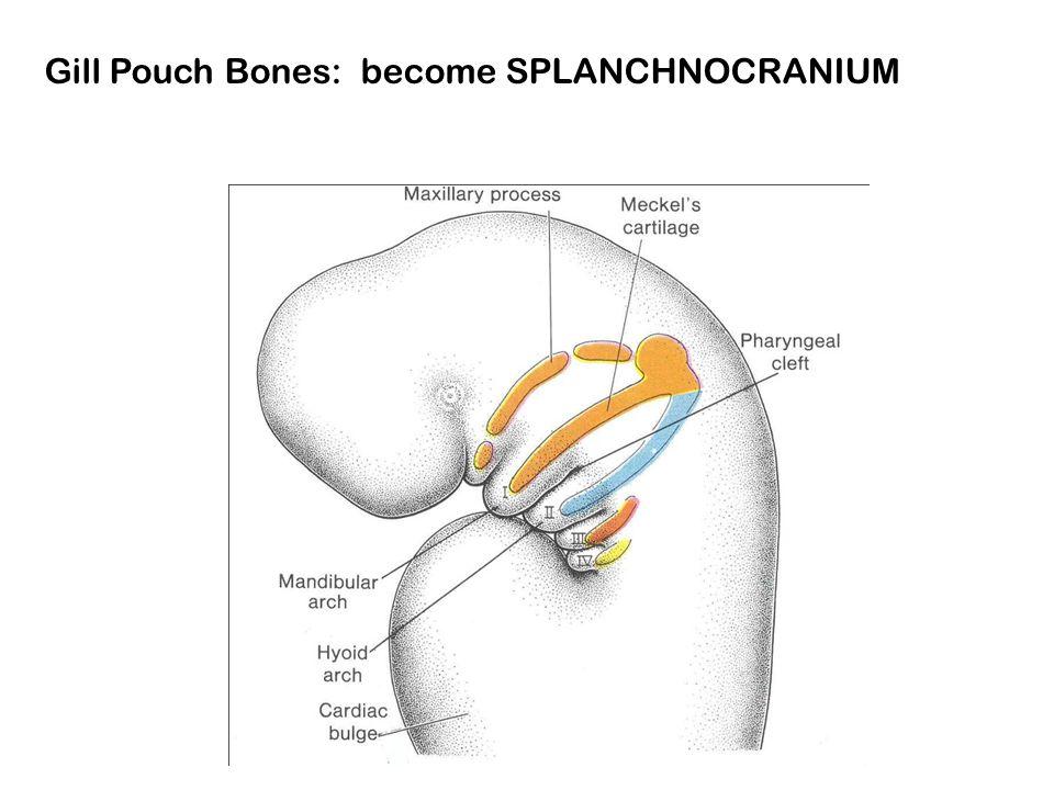 Gill Pouch Bones: become SPLANCHNOCRANIUM