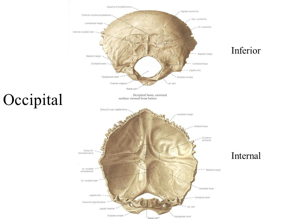 Inferior Internal Occipital