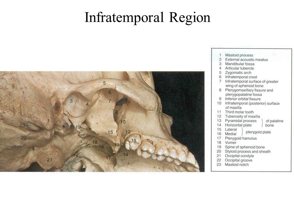 Infratemporal Region