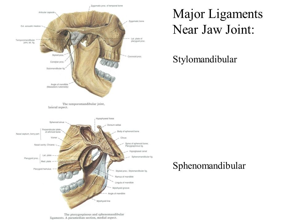 Major Ligaments Near Jaw Joint: