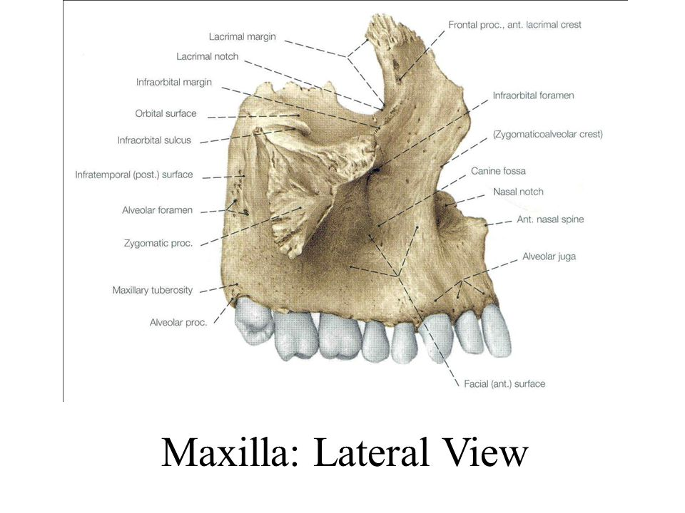Maxilla: Lateral View