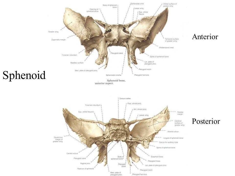 Anterior Posterior Sphenoid