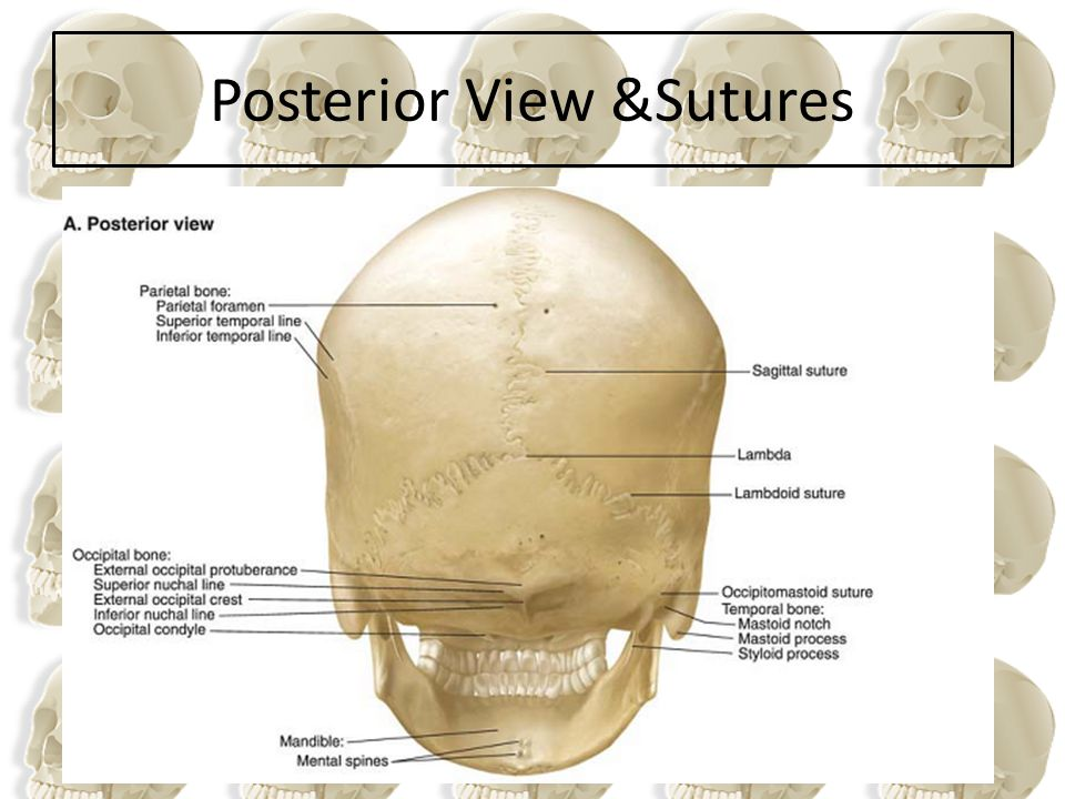 Posterior View &Sutures