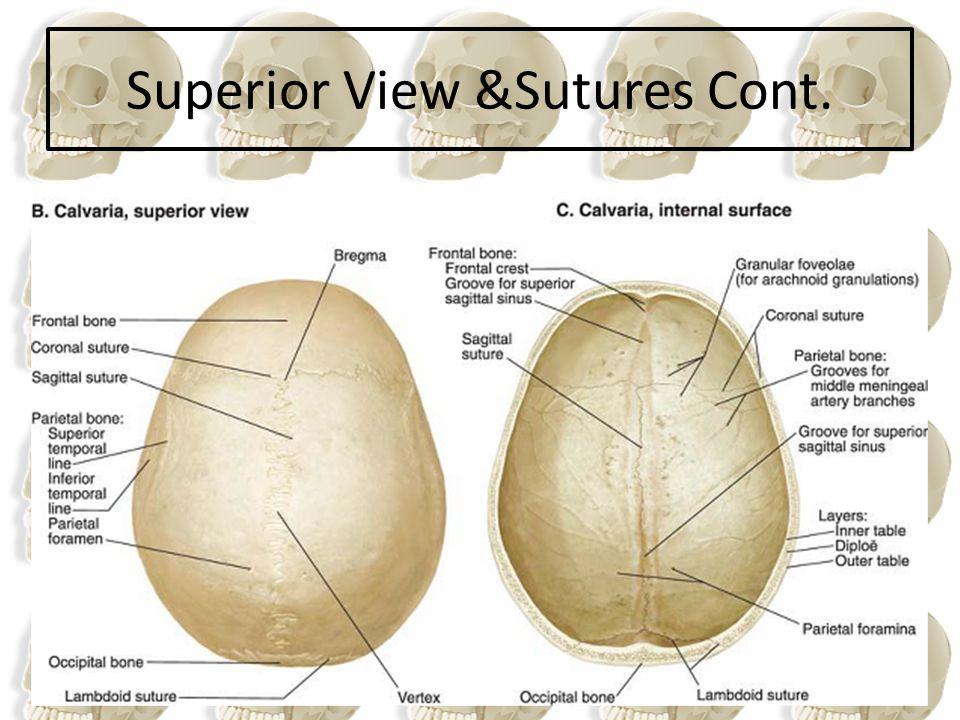 Superior View &Sutures Cont.