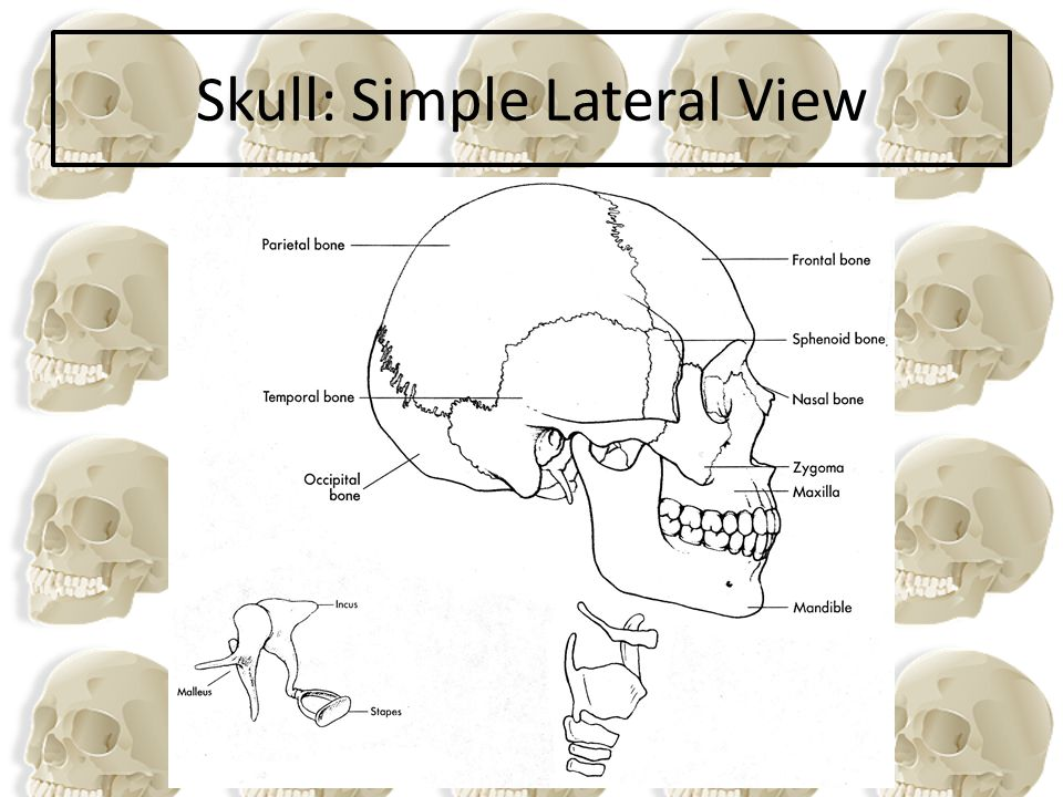 Skull: Simple Lateral View