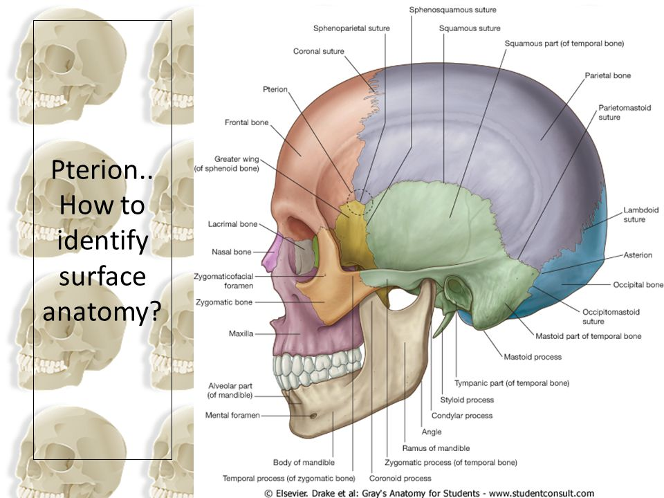 Pterion.. How to identify surface anatomy