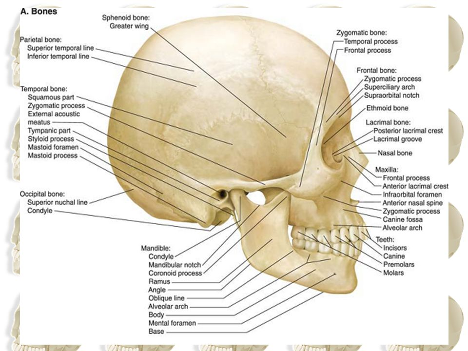 Identify the superior and inferior temporal lines, which begin as a single line from the posterior margin of the zygomatic process of the frontal bone and diverge as they arch backward. The temporal fossa lies below the inferior temporal line.