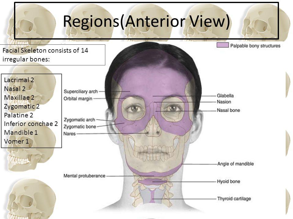 Regions(Anterior View)