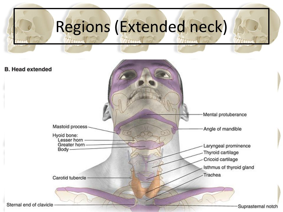 Regions (Extended neck)