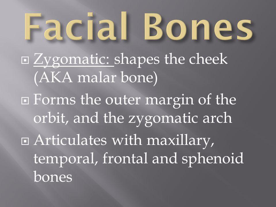 Facial Bones Zygomatic: shapes the cheek (AKA malar bone)