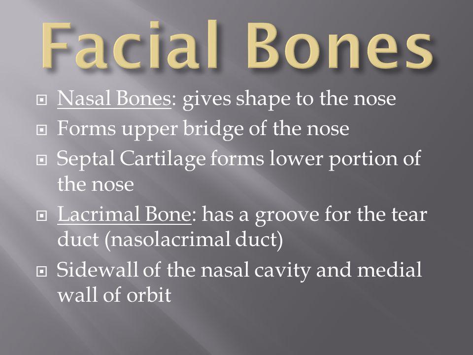 Facial Bones Nasal Bones: gives shape to the nose