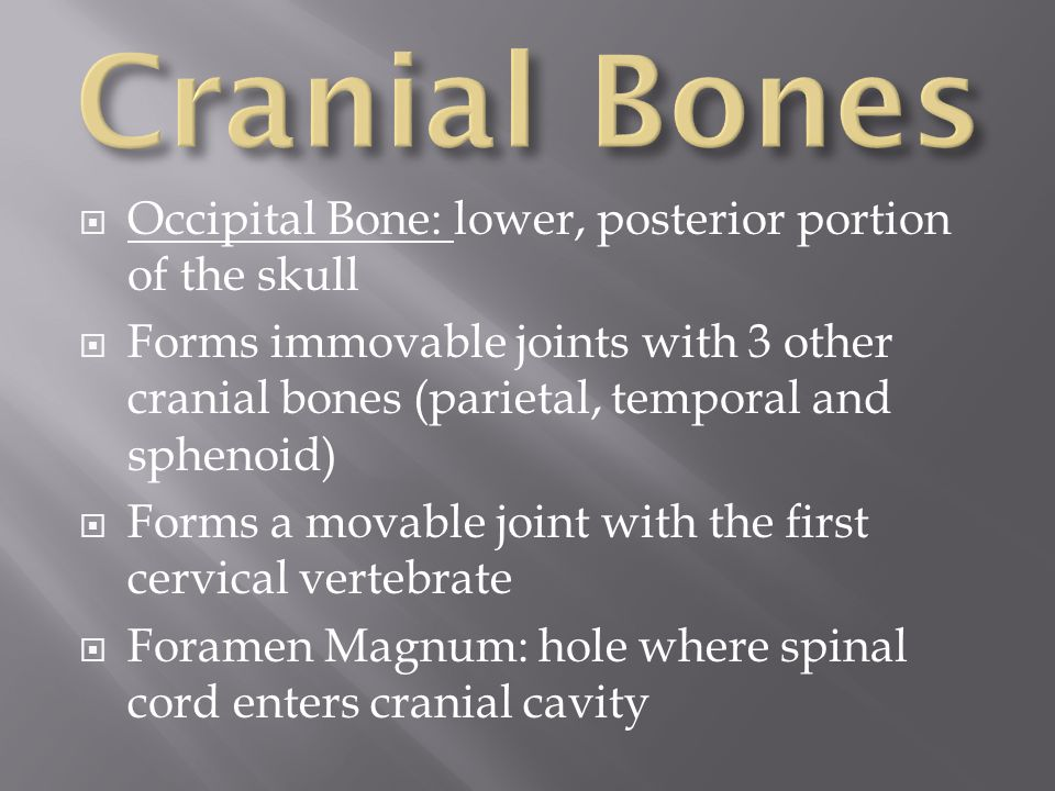 Cranial Bones Occipital Bone: lower, posterior portion of the skull