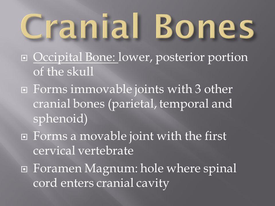 Cranial Bones Occipital Bone: lower, posterior portion of the skull