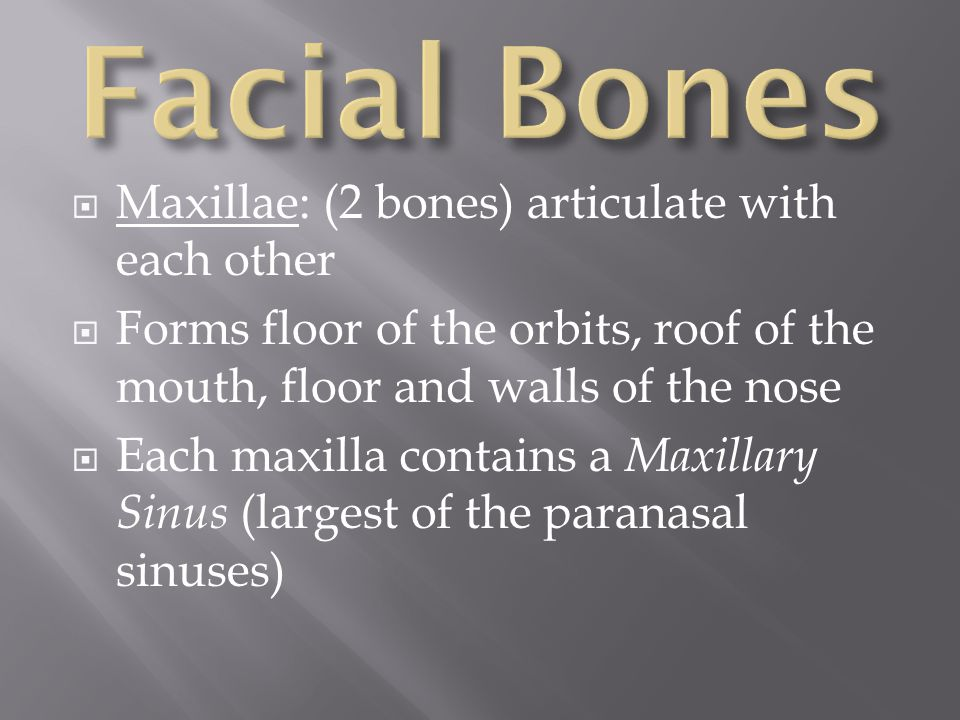 Facial Bones Maxillae: (2 bones) articulate with each other