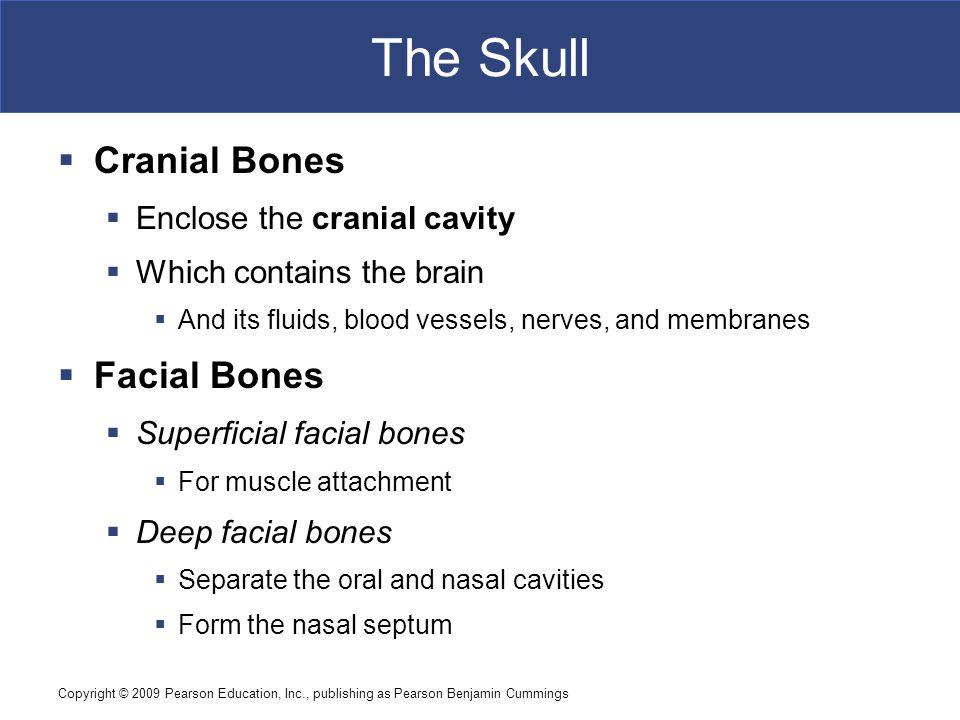 The Skull Cranial Bones Facial Bones Enclose the cranial cavity
