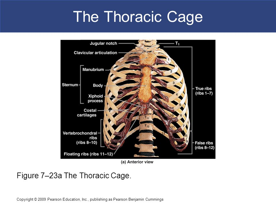 The Thoracic Cage Figure 7–23a The Thoracic Cage.