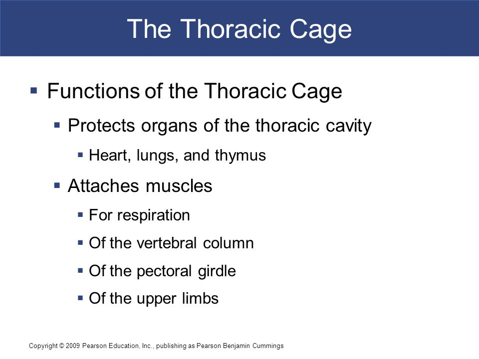 The Thoracic Cage Functions of the Thoracic Cage