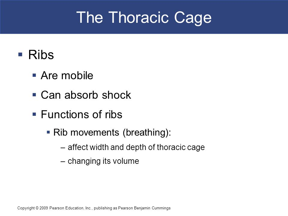 The Thoracic Cage Ribs Are mobile Can absorb shock Functions of ribs