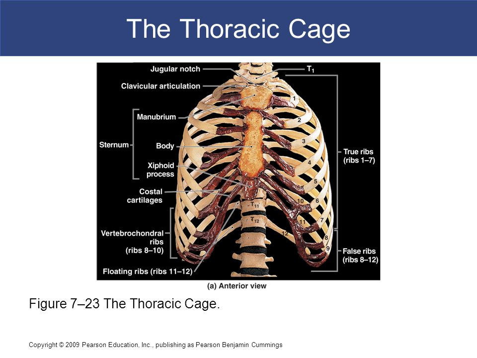 The Thoracic Cage Figure 7–23 The Thoracic Cage.