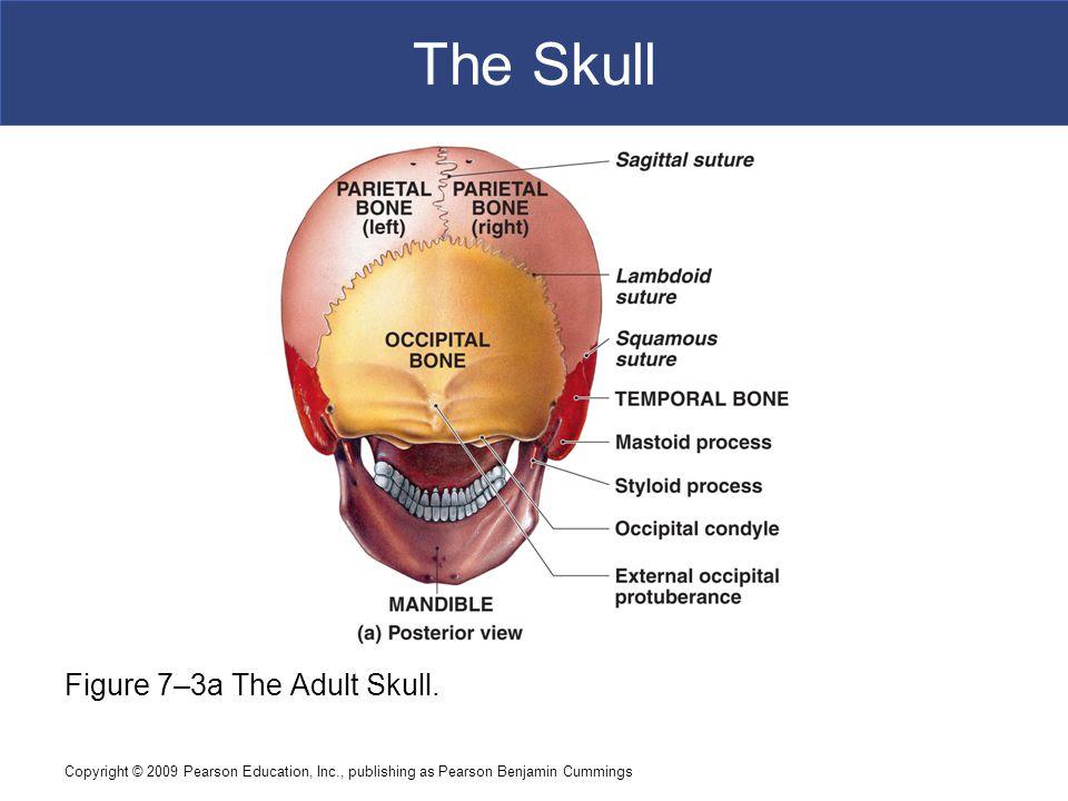 The Skull Figure 7–3a The Adult Skull.