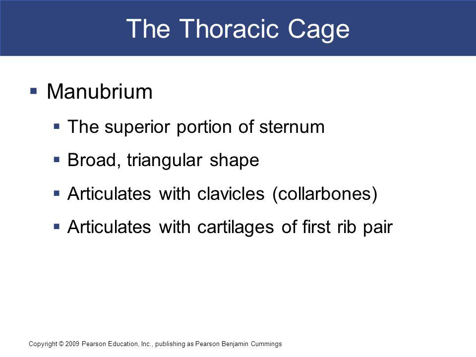The Thoracic Cage Manubrium The superior portion of sternum