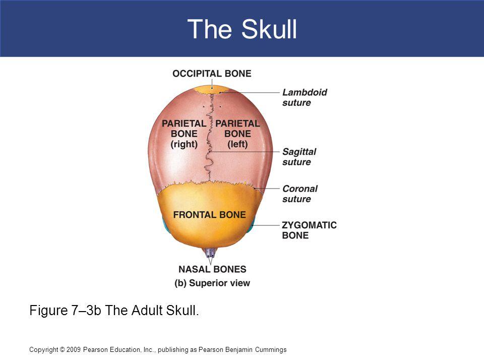 The Skull Figure 7–3b The Adult Skull.