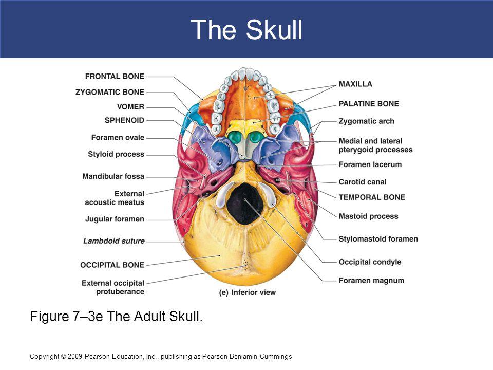 The Skull Figure 7–3e The Adult Skull.