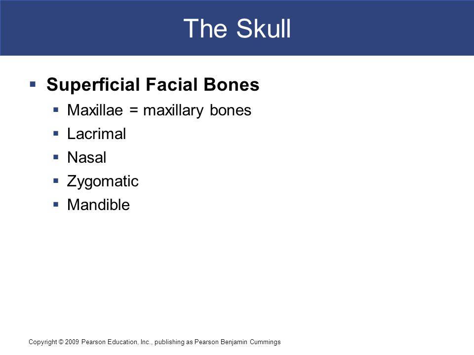 The Skull Superficial Facial Bones Maxillae = maxillary bones Lacrimal