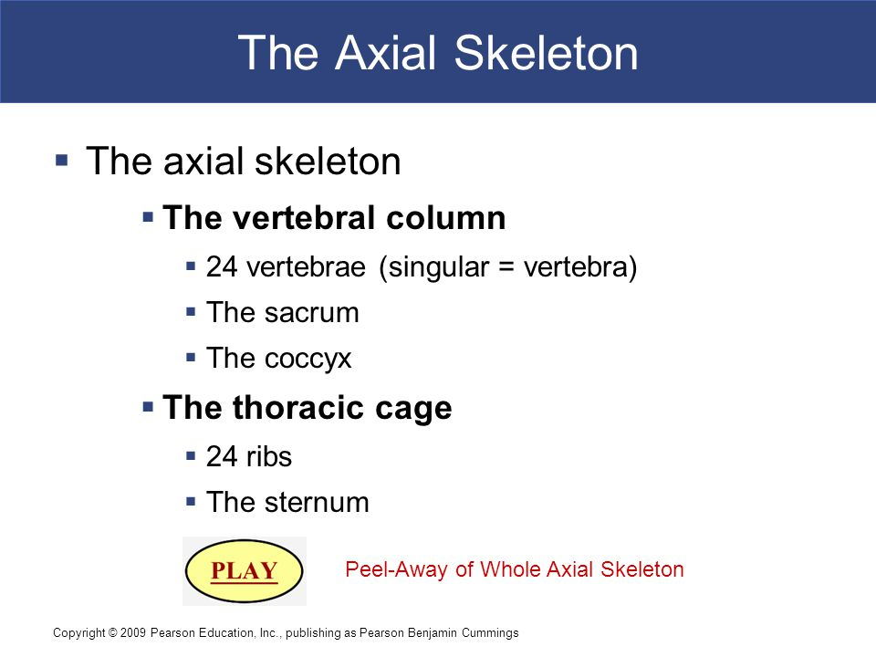 The Axial Skeleton The axial skeleton The vertebral column