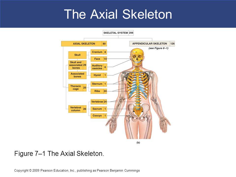 The Axial Skeleton Figure 7–1 The Axial Skeleton.