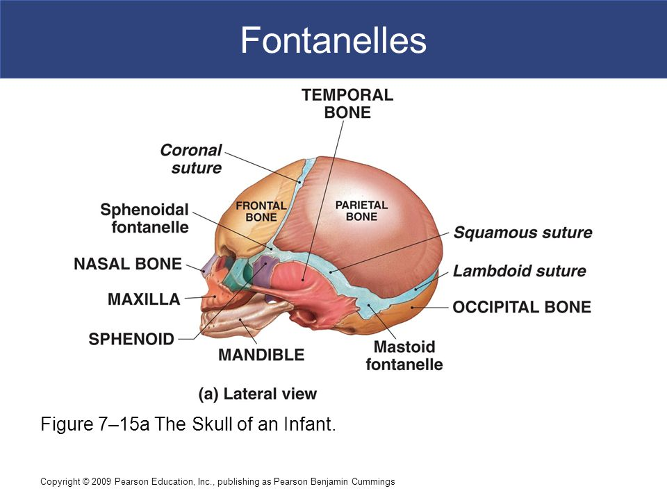 Fontanelles Figure 7–15a The Skull of an Infant.