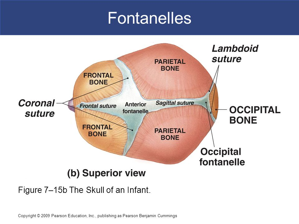 Fontanelles Figure 7–15b The Skull of an Infant.