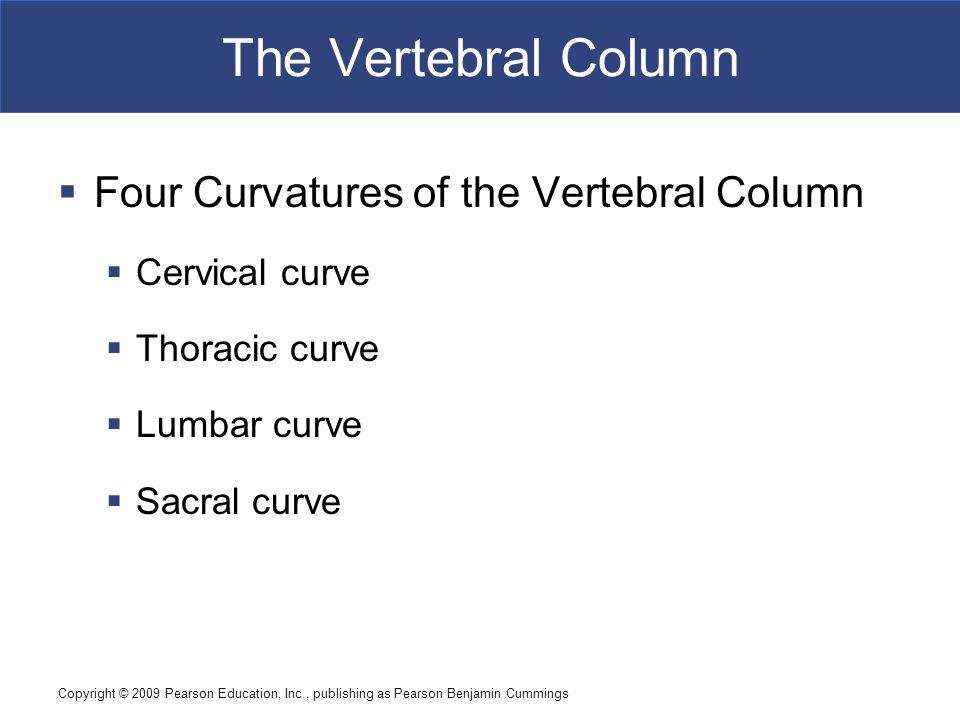 The Vertebral Column Four Curvatures of the Vertebral Column