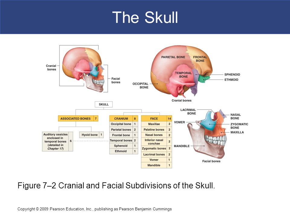 The Skull Figure 7–2 Cranial and Facial Subdivisions of the Skull.
