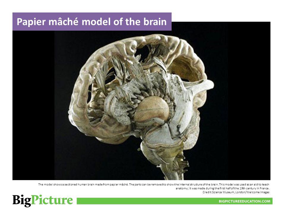 Papier mâché model of the brain
