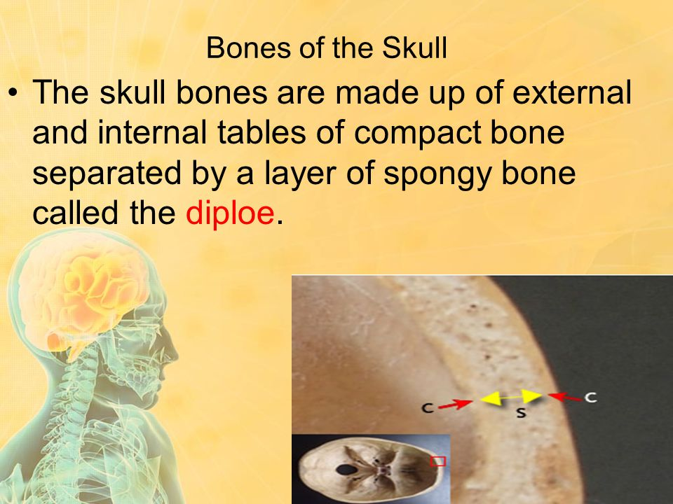 Bones of the Skull The skull bones are made up of external and internal tables of compact bone separated by a layer of spongy bone called the diploe.