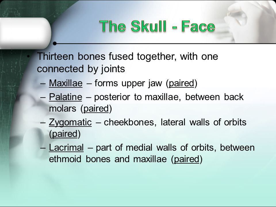 The Skull - Face Thirteen bones fused together, with one connected by joints. Maxillae – forms upper jaw (paired)