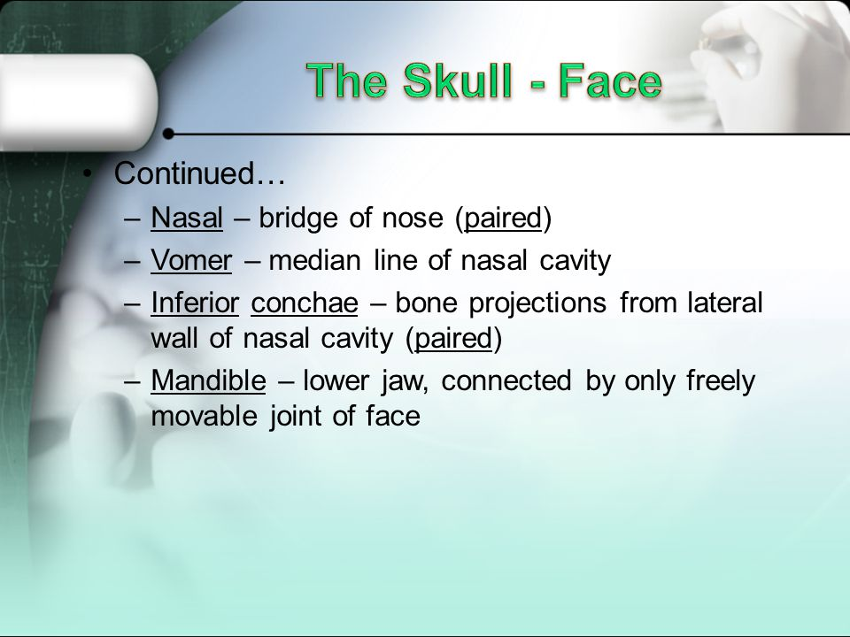 The Skull - Face Continued… Nasal – bridge of nose (paired)