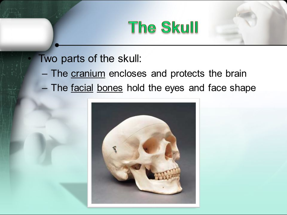 The Skull Two parts of the skull: