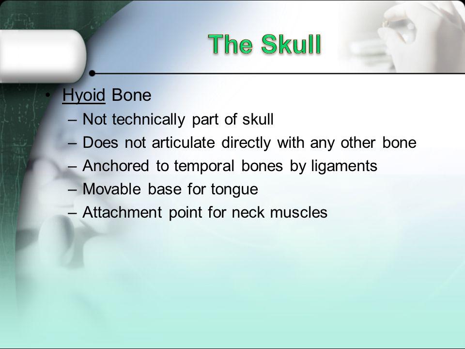 The Skull Hyoid Bone Not technically part of skull